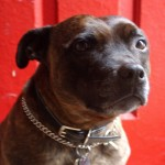 Stella- a Staffordshire Bull Terrier who loved the world, excepting other dogs
